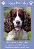"English Springer Spaniel-Happy Birthday - ""I'm Adopted"" Theme"